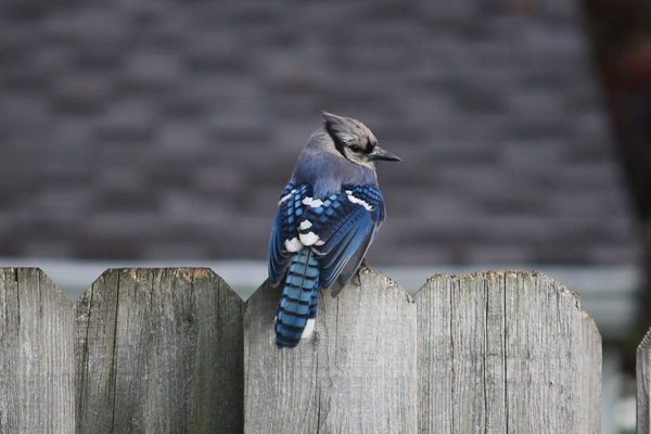 Blue jay - Waldwick, NJ.JPG
