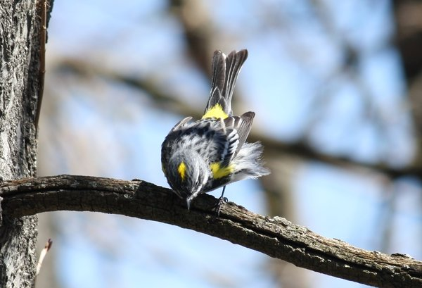 Yellow-rumped warbler - male - Celery Farm, NJ.JPG