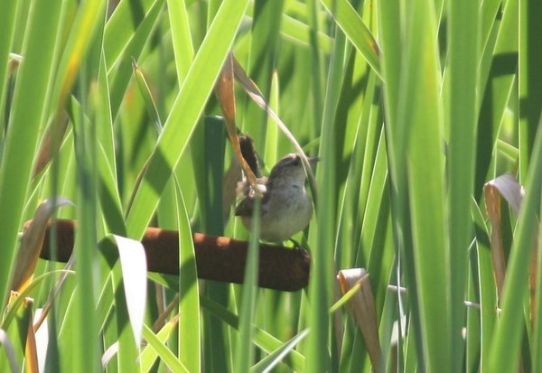 Marsh wren - Great Swamp, NJ.JPG