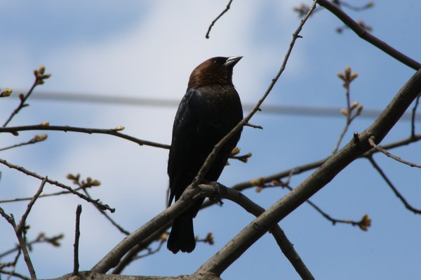 Brown-headed cowbird - male - DeKorte Park, NJ.JPG