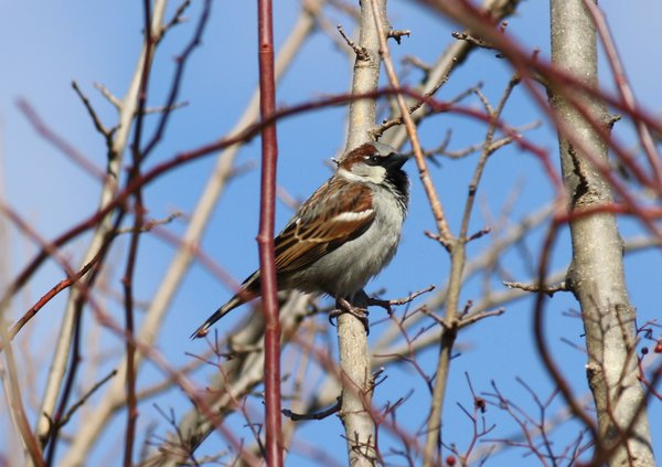 House sparrow - male - Ridgewood, NJ.JPG