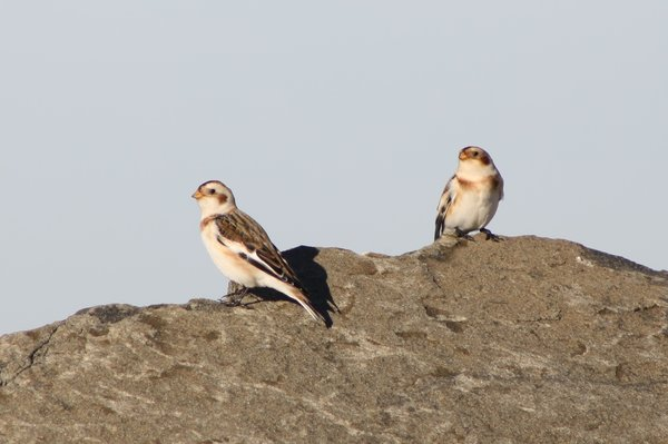 Snow buntings - Avalon Sea Watch, NJ.JPG