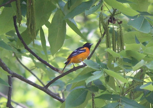 Baltimore oriole - Male - New Canaan, CT.JPG