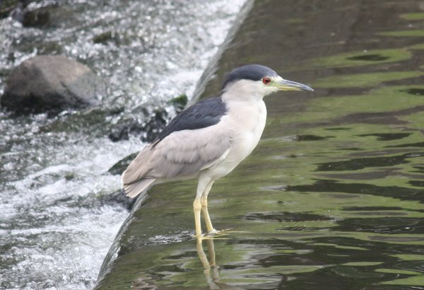 Black-crowned night heron - Waldwick Borough Park, NJ.JPG