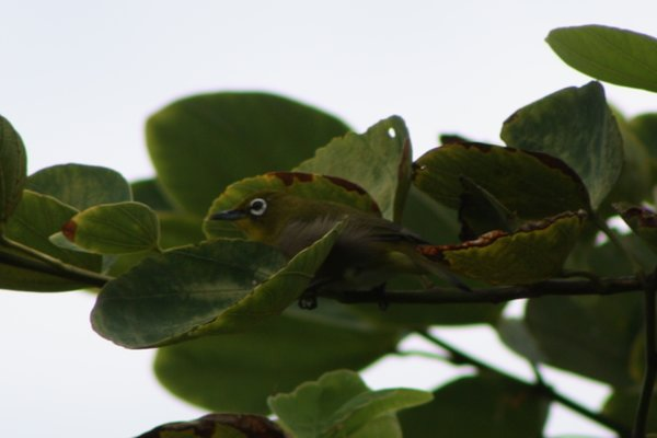 Japanese white-eye, Maui, HI.JPG
