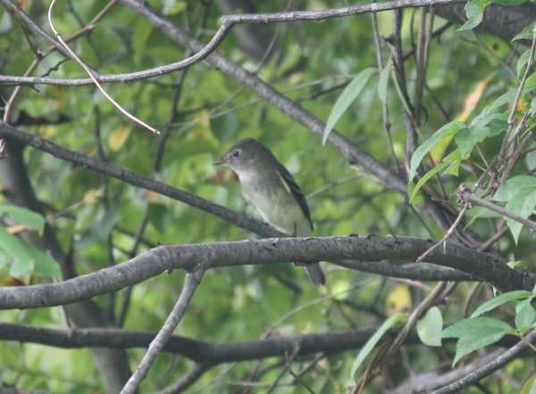 Least flycatcher - Celery Farm, NJ.JPG