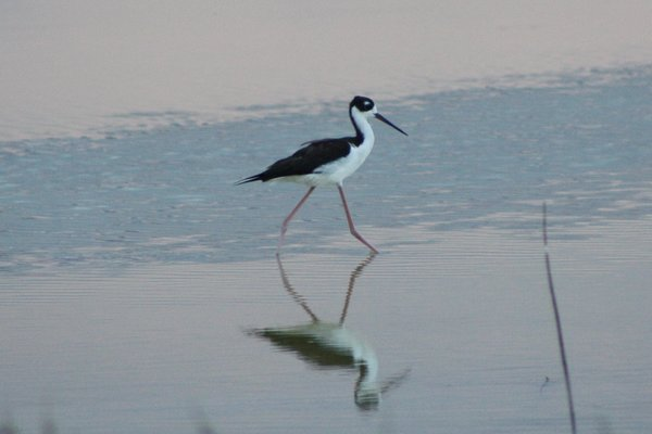 Black necked stilt - Maui, HI.JPG