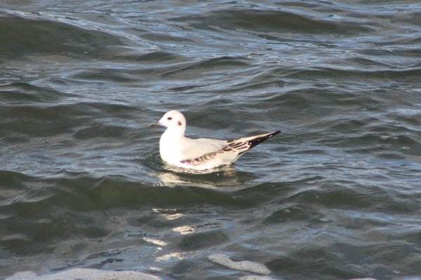 Bonaparte's Gull - Avalon Sea Watch.JPG