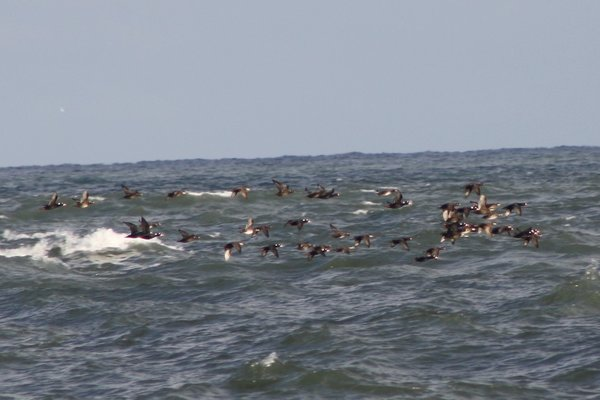 Surf scoters (with black scoters) - Avalon Sea Watch, NJ.JPG