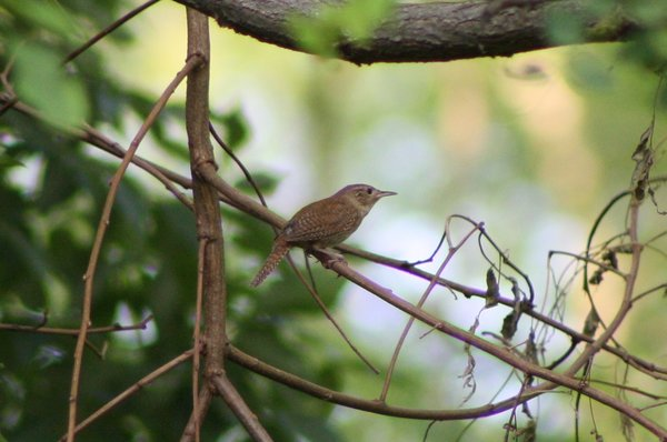 House wren - Becker Park, NJ.JPG