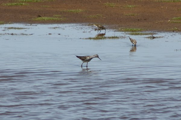 Lesser yellowlegs - Edwin B Forsythe Wildlife Refuge, NJ.JPG