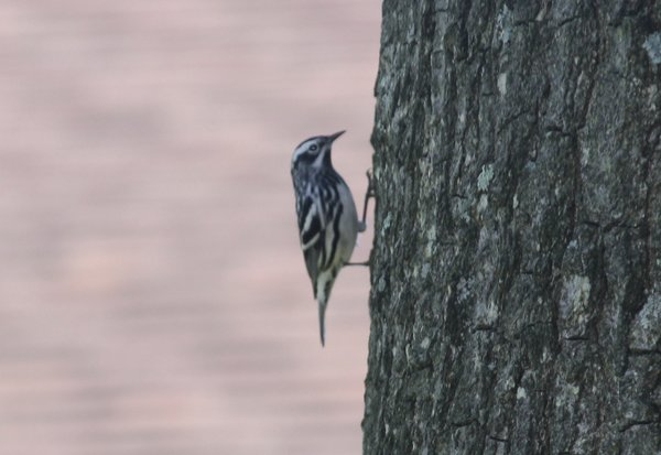 Black-and-white warbler - Emerson, NJ.JPG