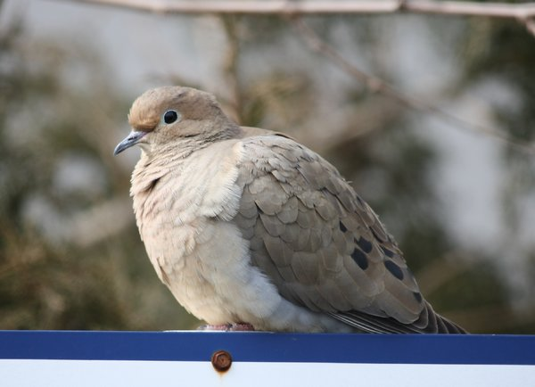 Mourning dove - Waldwick, NJ.JPG