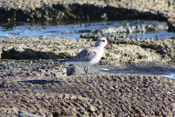 Black-bellied plover - Avalon Sea Watch, NJ.JPG