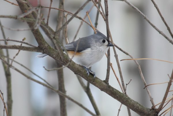 Tufted titmouse - Waldwick, NJ.JPG