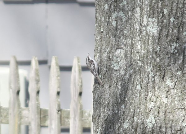 Brown creeper, Waldwick, NJ.JPG