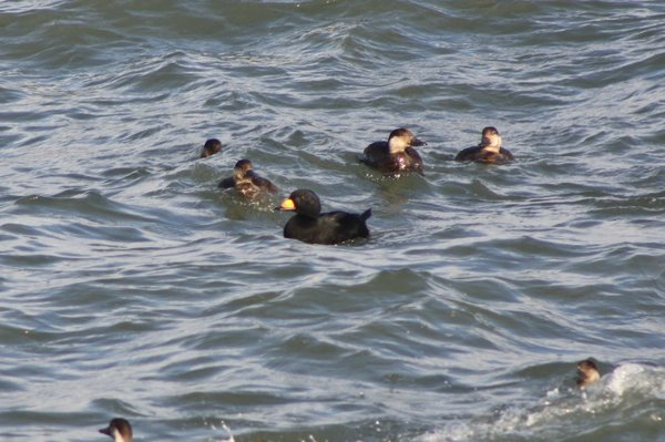Black scoter - male and females - Avalon Sea Watch, NJ.JPG