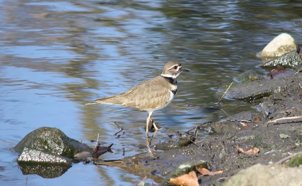 Killdeer - Wyckoff, NJ.JPG