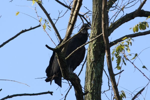Black vulture - Wanaque, NJ.JPG