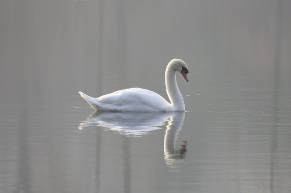 Mute swan - Franklin Lakes Nature Preserve, NJ.JPG
