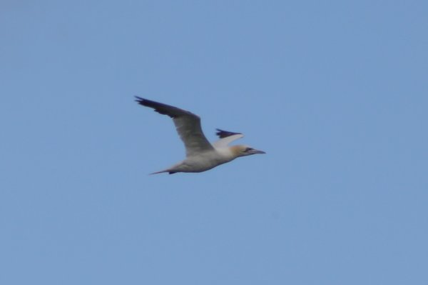Northern gannet - Avalon Sea Watch, NJ.JPG