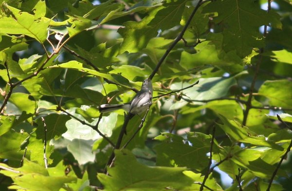 Blue-gray gnatcatcher - Great Swamp, NJ.JPG