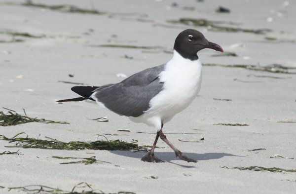 Laughing gull - Long Beach Island, NJ.JPG