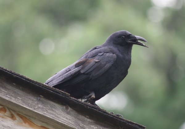American crow - Waldwick Borough Park, NJ.JPG