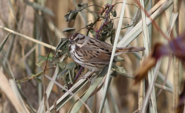 Song sparrow - Celery Farm, NJ.JPG