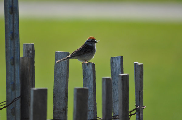 Chipping Sparrow with a snack