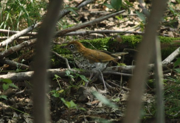 Wood thrush - Great Swamp, NJ.JPG
