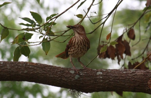 Brown thrasher - Orlando, FL.JPG