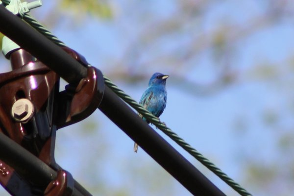 Indigo bunting - male - Becker Park, NJ.JPG