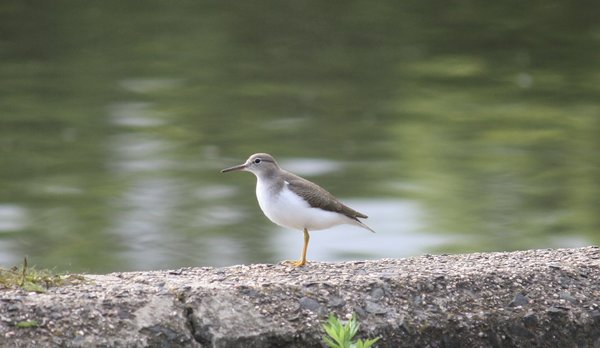Spotted sandpiper - Waldwick Borough Park, NJ.JPG