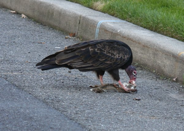 Turkey vulture - Waldwick, NJ.JPG