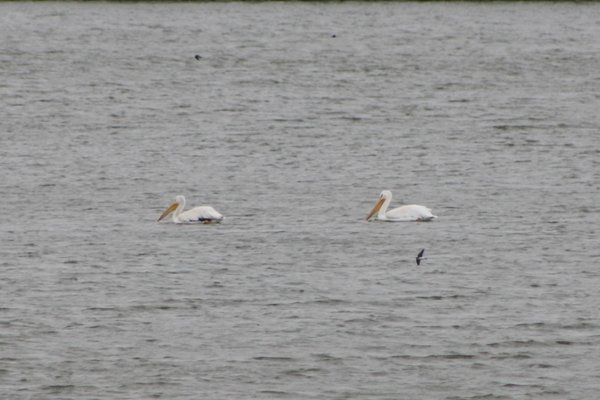 American white pelican - The Audubon Center at Riverlands, MO.JPG