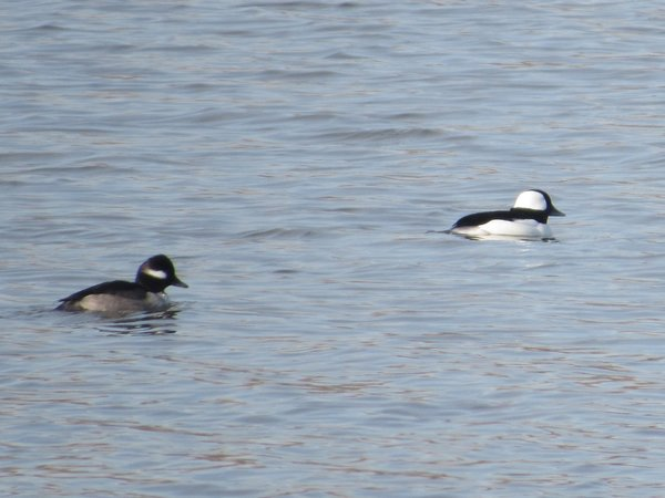 Bufflehead - female & male - DeKorte Park, NJ.JPG