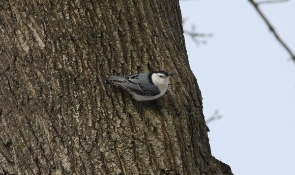White-breasted nuthatch - Waldwick, NJ.JPG