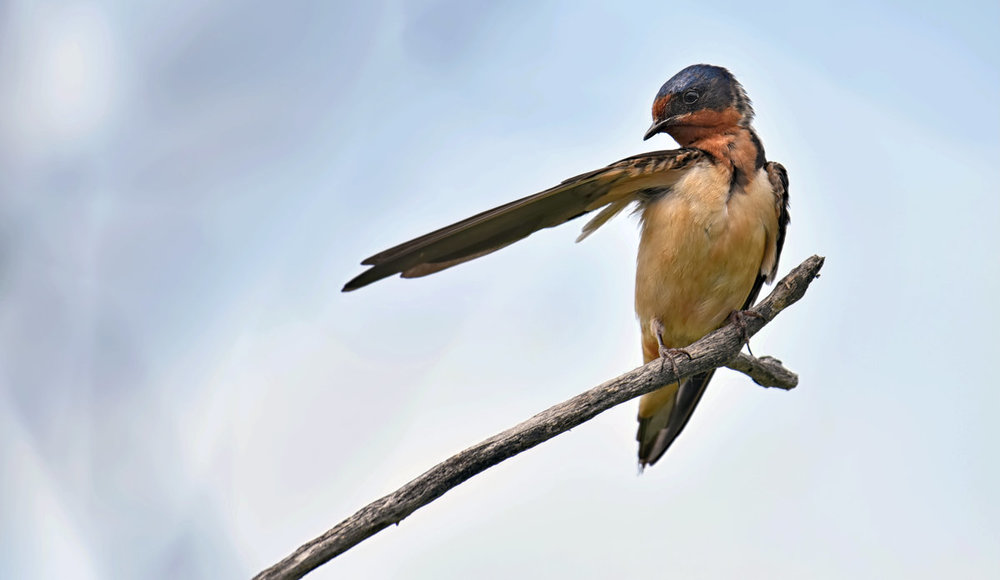6_25_2018 Barn Swallow DSC_1322.jpg