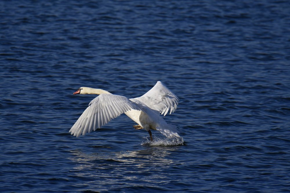 Swan in flight.jpg