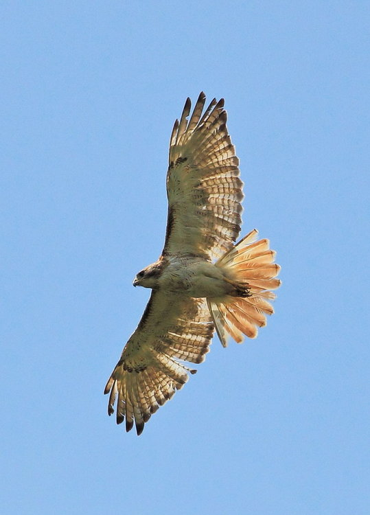 Red Tail Hawk 7-8-12.JPG