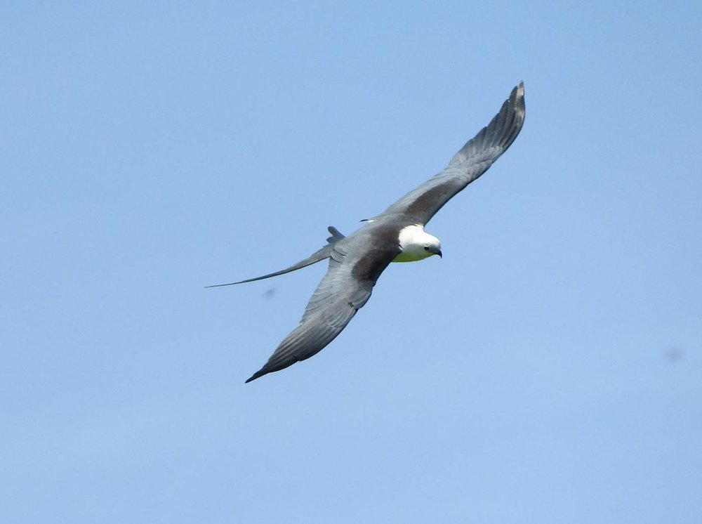 Swallow-tailed Kite 2 8-11-18.JPG