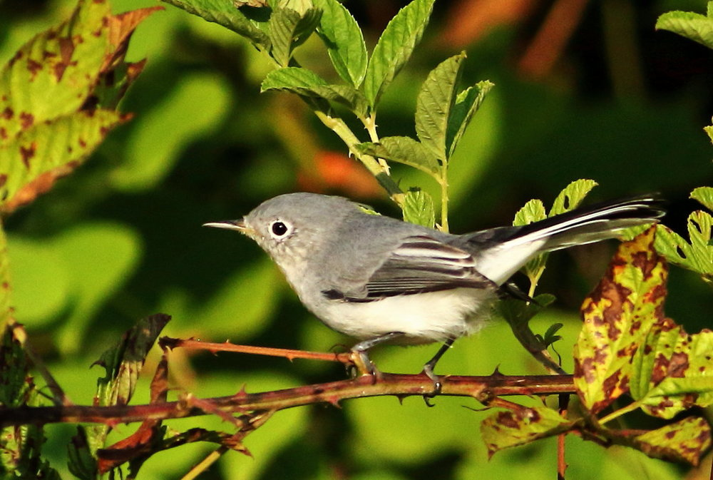 Blue Gray Gnatcatcher 1 (8-26-18).JPG