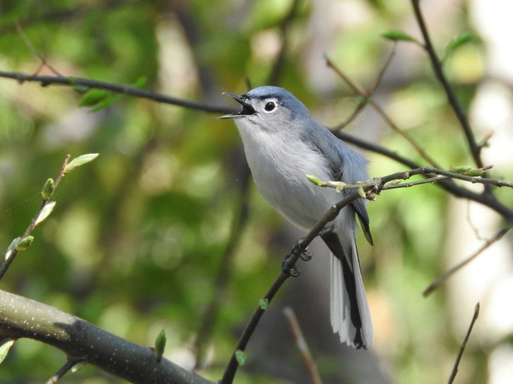 Blue-gray Gnatcatcher 2.JPG