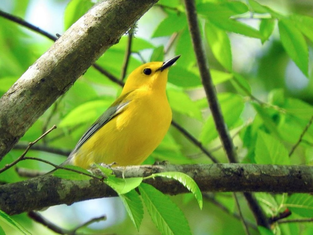 Prothonotary Warbler 1.JPG