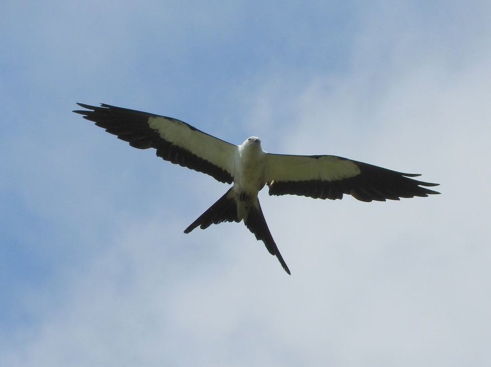 Swallow-tailed Kite 1 8-11-18.JPG