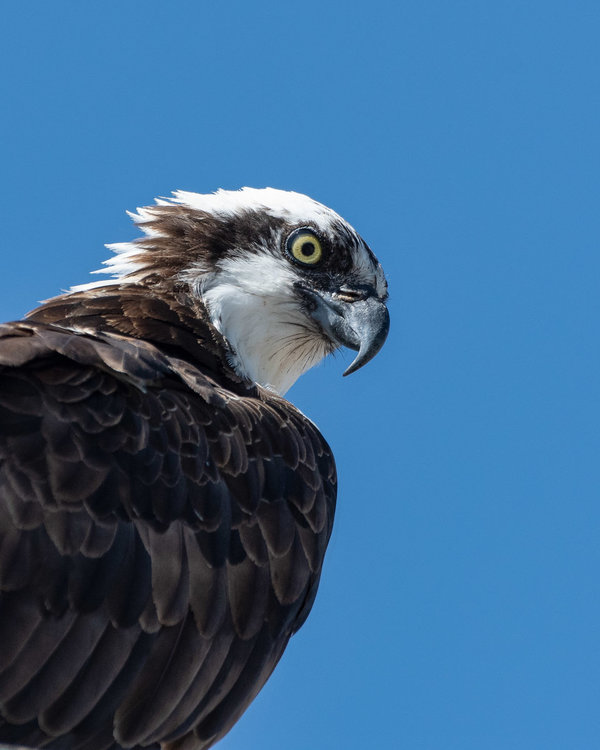 Immature Osprey up close.jpg
