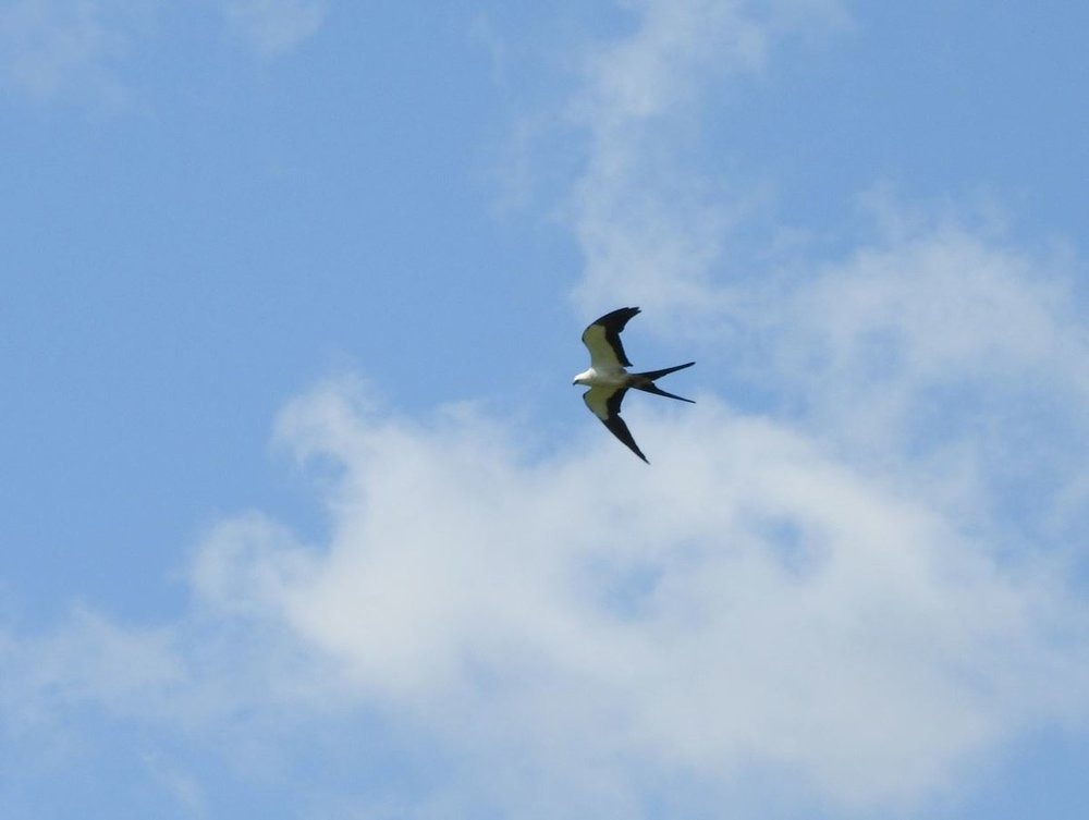 Swallow-tailed Kite 3 8-11-18.JPG