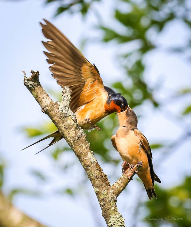 Barn Swallows Swallowing.jpg