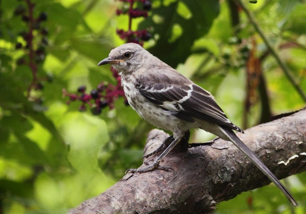 Mockingbird 1 (8-19-13).JPG